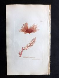 Sowerby 1846 Hand Col Seaweed Print. Calithamnion Thuyoides 2465
